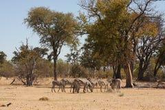 Zebras in the bush. Stock Photos