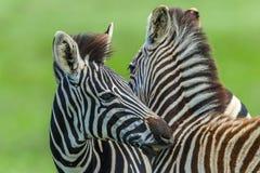 Zebras Calf Necking Affections Wildlife. Zebra Calf young animals necking affections in wildlife safari park Royalty Free Stock Photos