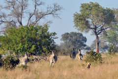 Zebras chasing Wild Dogs. Wild Dogs in the early morning Light starting a hunt. Zebra is joined by others and scare the wild dogs off royalty free stock image