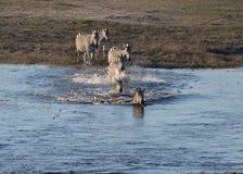 Zebras in Chobe-Fluss Stockbilder