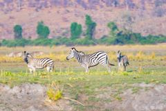 Zebras in the Chobe National Park, Botswana. Wildlife Safari in the african national parks and wildlife reserves. Royalty Free Stock Photography