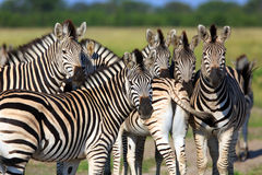 Zebras. In the Chobe Nationalpark in Botswana Stock Photos