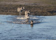 Zebras at Chobe River Stock Images