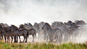 Zebras are collected in a large herd. For the  crossing river Mara, Masai Mara Game Reserve, Kenya Royalty Free Stock Photos