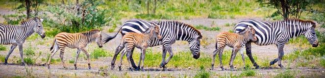 Zebras com os jovens em Tanzânia imagens de stock