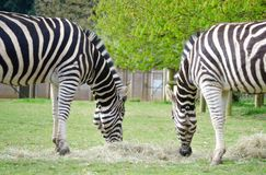 Two Zebras munching the same hay in a wildlife park. Zebras at the Cotswold wildlife park eating the same hay turning their backs away from the crowds royalty free stock images