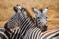 Zebras. Couple of zebras on the African savannah stock images