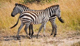 Zebras. Couple of zebras on the African savannah Stock Photo