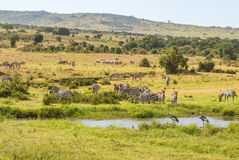 Zebras and cranes at a watering hole Stock Image