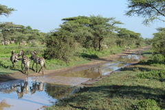 Zebras crossing Royalty Free Stock Photos