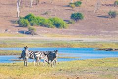 Zebras crossing Chobe river. Glowing warm sunset light. Wildlife Safari in the african national parks and wildlife reserves. Stock Photography