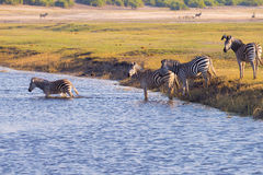 Zebras crossing Chobe river. Royalty Free Stock Image