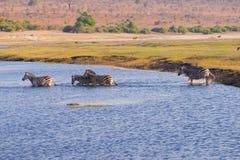 Zebras crossing Chobe river. Stock Image