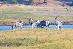 Zebras crossing Chobe river. Glowing warm sunset light. Wildlife Safari in the african national parks and wildlife reserves. Royalty Free Stock Image