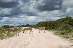 Zebras crossing gravel road Royalty Free Stock Photos