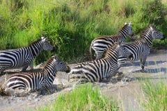 Zebras crossing a river at masai mara Royalty Free Stock Photos