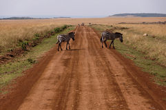 Zebras Crossing Road Stock Images