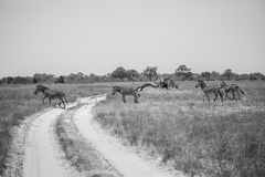 Zebras crossing the road, black and white photo. Zebras is crossing the road in savanna of Botswana Royalty Free Stock Photo