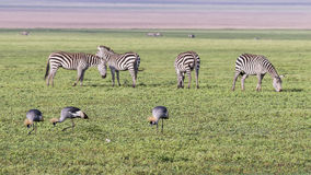 Zebras and Crowned Crane in Ngorongoro crater. Stock Photography