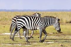 Zebras das planícies fotografia de stock