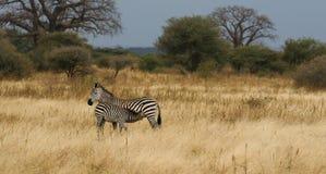 Zebras das planícies da mãe e do bebê Foto de Stock Royalty Free