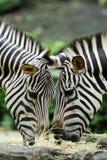 Zebras de alimentação Fotografia de Stock