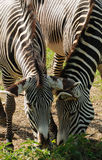 Zebras de alimentação Foto de Stock Royalty Free