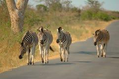 Zebras de Burchell (burchellii do Equus) Fotos de Stock Royalty Free