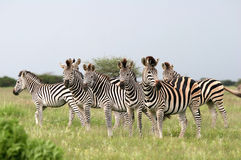 Zebras de Burchell do rebanho Foto de Stock Royalty Free