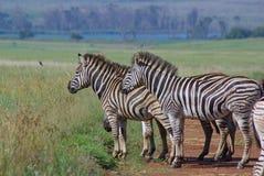 Zebras de Burchell em planícies africanas da grama Fotografia de Stock