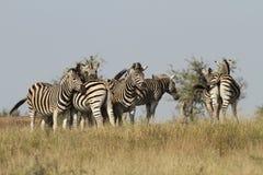 Zebras de Burchells Foto de Stock
