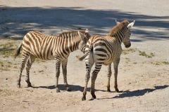 Zebras de Colts Imagens de Stock
