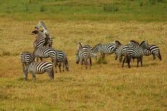 Zebras de combate Imagem de Stock Royalty Free