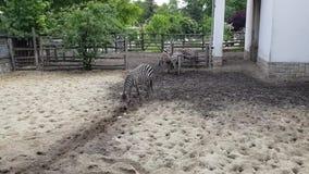 Zebras in de Dierentuin van Boedapest stock footage