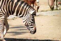 Zebras in de dierentuingang in hun vogelhuis Royalty-vrije Stock Afbeelding