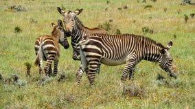 Zebras de montanha brincalhão do cabo Fotos de Stock