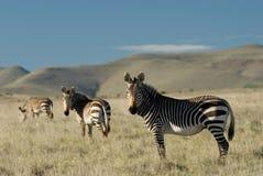 Zebras de montanha do cabo Imagens de Stock