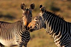 Zebras de montanha do cabo Imagem de Stock Royalty Free