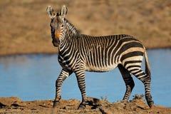 Zebras de montanha do cabo em um waterhole imagens de stock royalty free