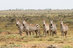 Zebras in de Nationale Reserve van Masai Mara, Kenia Royalty-vrije Stock Fotografie