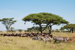 Zebras in de Nationale Reserve van Samburu stock afbeelding