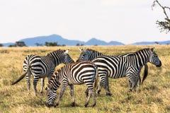 Zebras in de savanne Stock Afbeeldingen