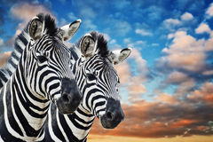 Zebras in de wildernis Stock Foto