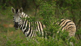 Zebras in de Wildernis stock footage