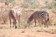 Zebras in de wildernis wordt bevlekt die stock fotografie