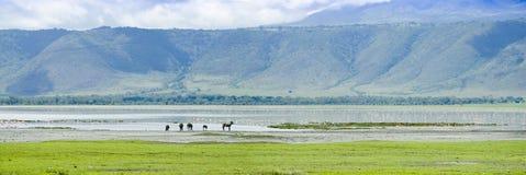 Zebras an der Bewässerung stockfotos