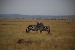 Zebras in der Liebe im nationalen Reservierungsbereich Serengeti lizenzfreie stockbilder