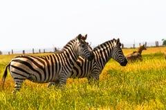 Zebras in der Savanne Stockbilder
