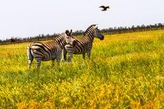 Zebras in der Savanne Stockfoto
