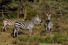 Zebras in der Savanne Stockfotografie